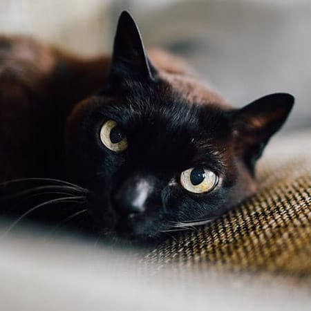 black cat staring