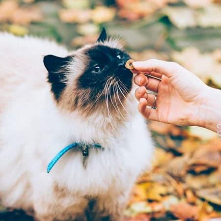 cat eating treat