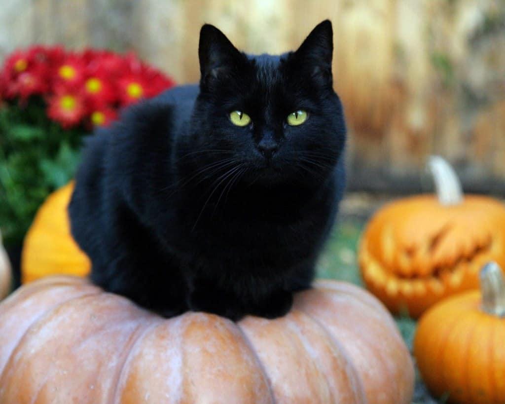 black cat names - cat and pumpkin