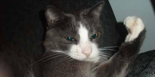 tough boy cat thumb