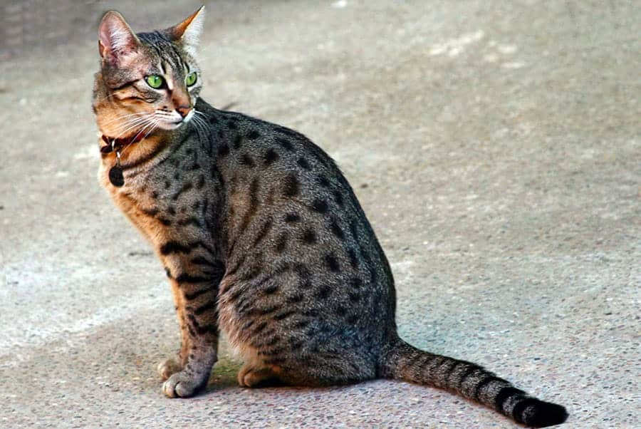 egyptian cat names - mau cat
