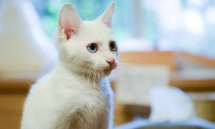 white cat side view
