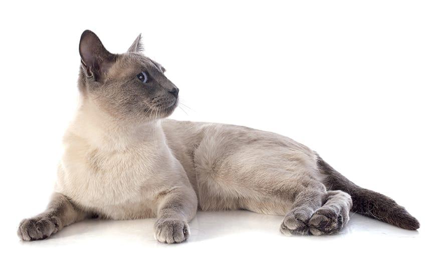 Siamese-cat-names-3