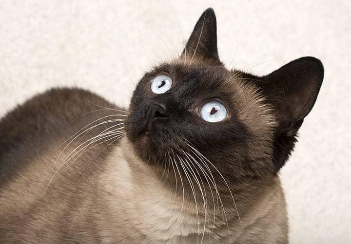 siamese-cat-names-2