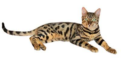 bengal cat name thumb