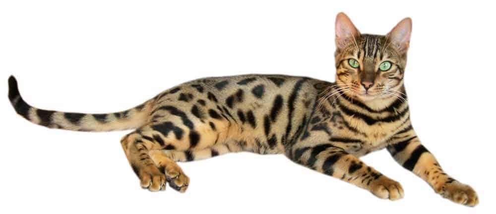 Bengal Cat Names