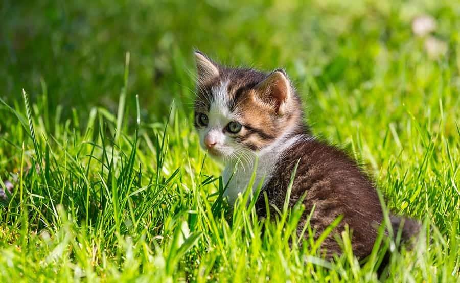 British Cat Names - kitten in grass