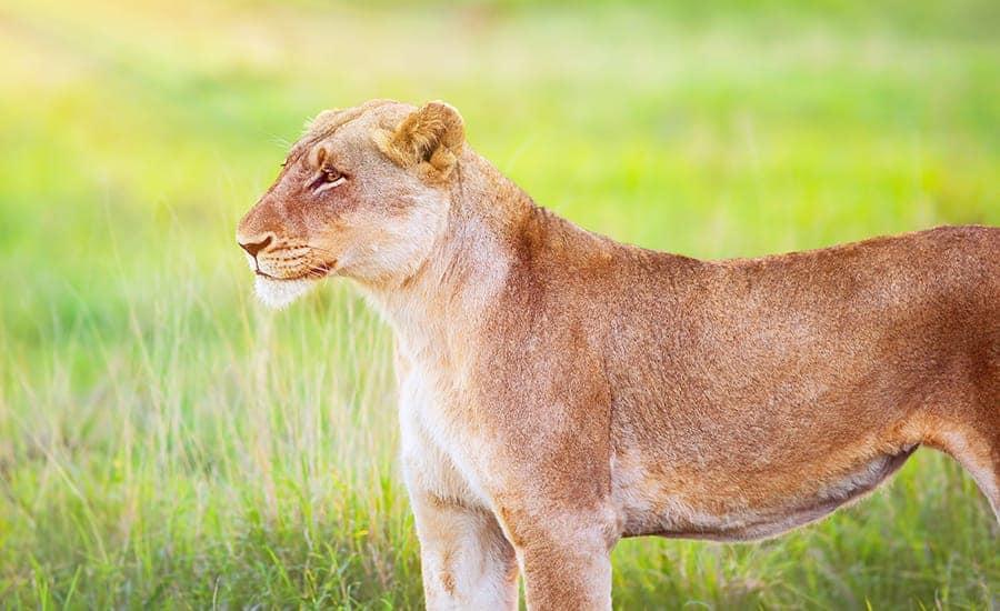 lioness cat