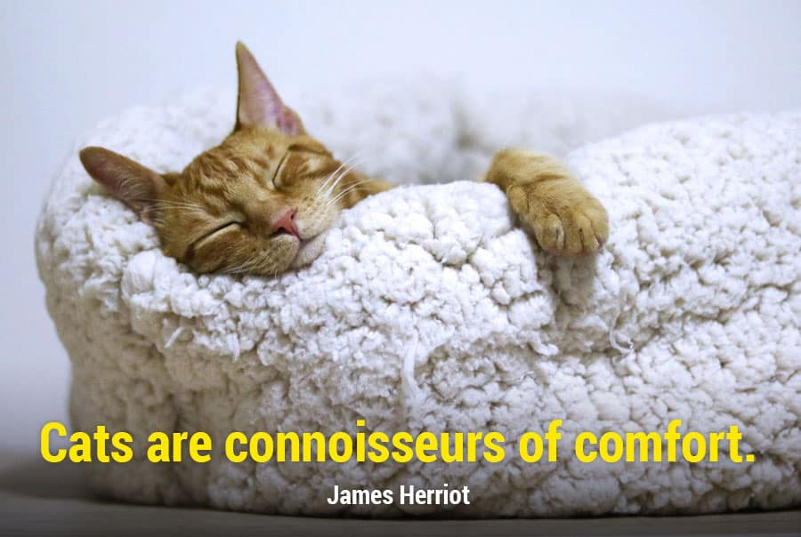 cat quotes - cats are connoisseurs of comfort - james herriot