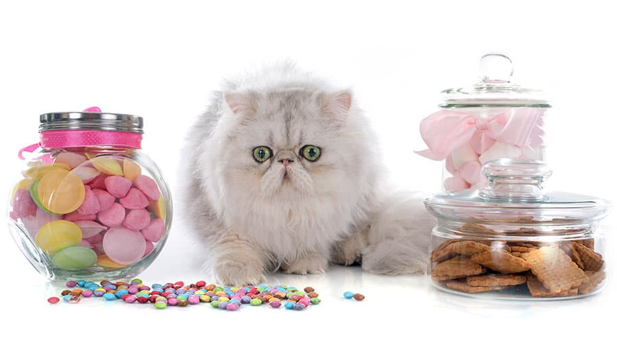 cat with sweets - foods cats cant eat