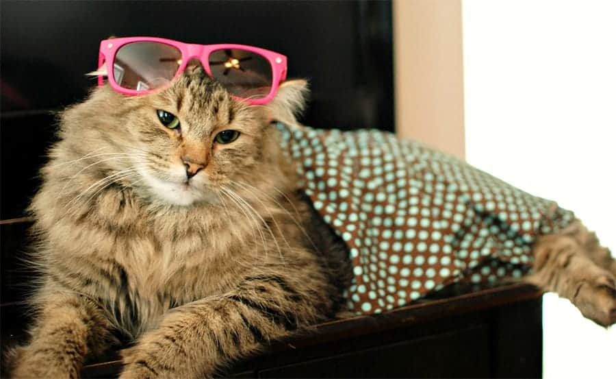 cool lounging cat with sunglasses