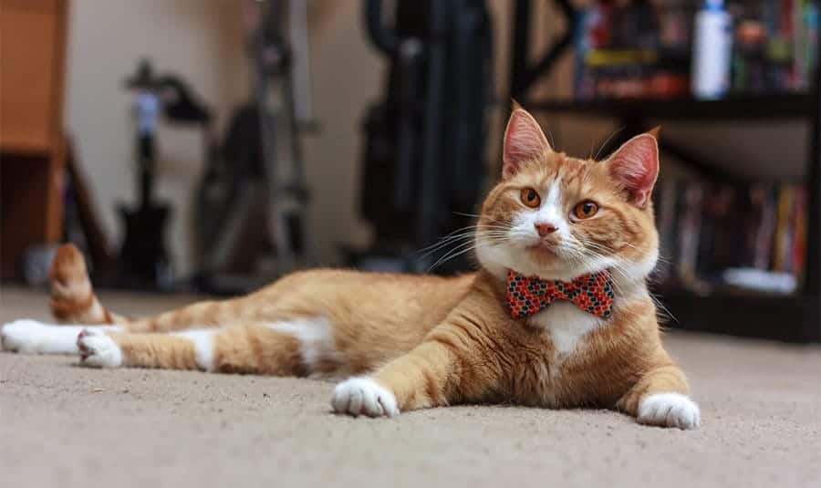Cute cat with bowtie