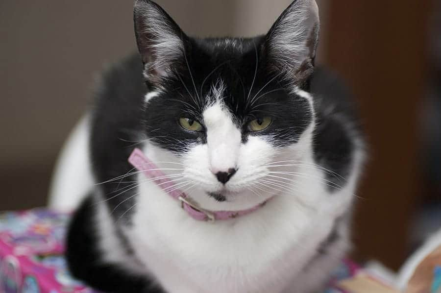 Tough female cat