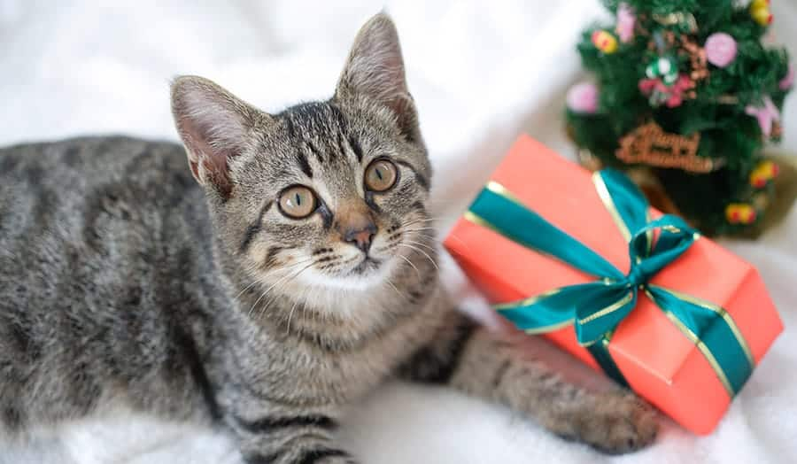 cat with present