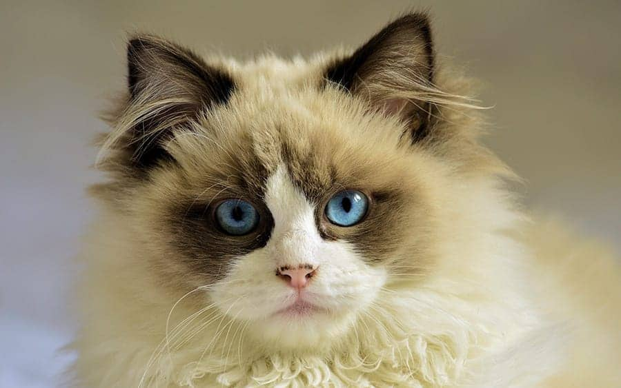 Blue eyed cat names