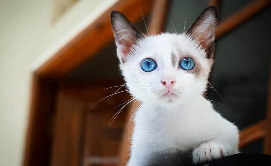 11+ Cool names for cats with blue eyes info