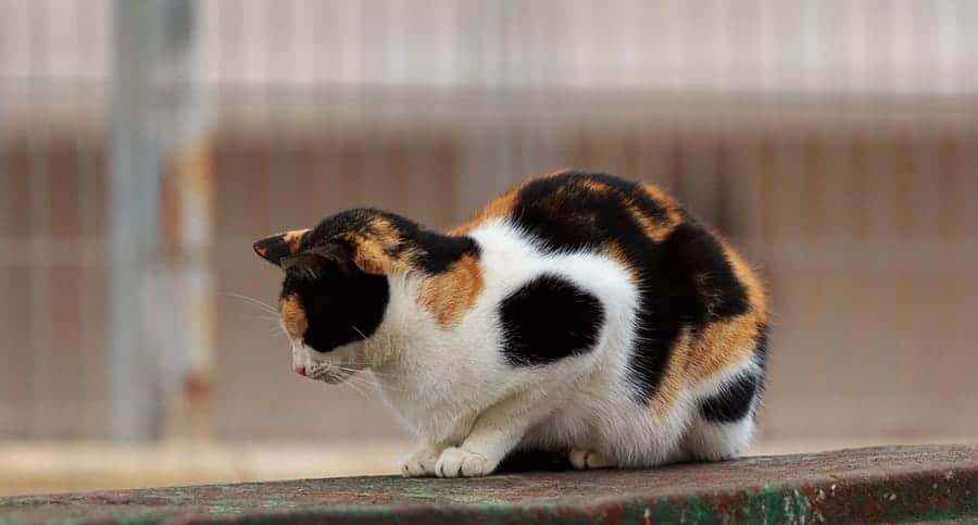 Patterned calico cat