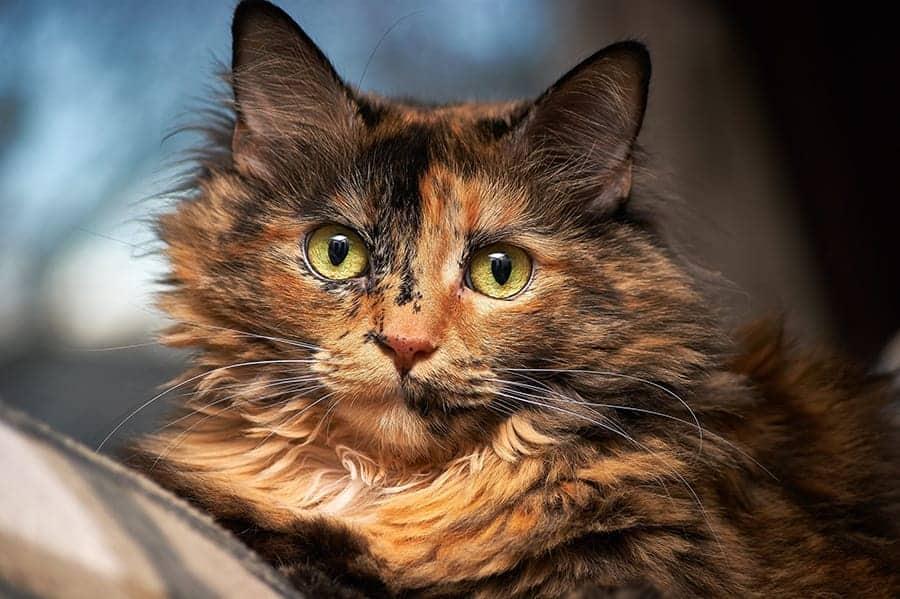 Fluffy tortoiseshell cat