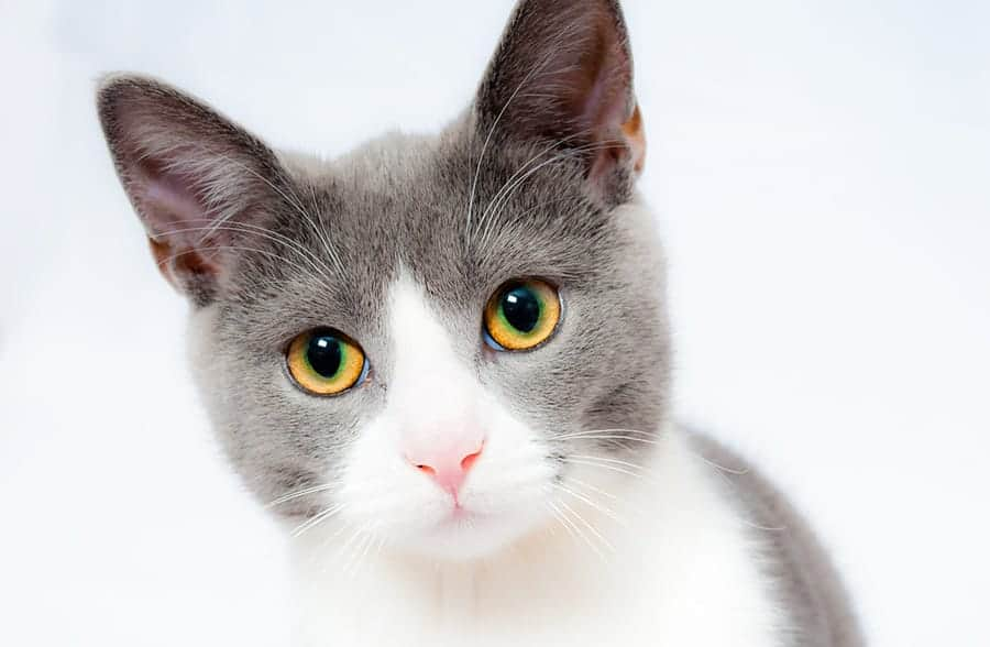 27++ Gender neutral gray cat names ideas in 2021