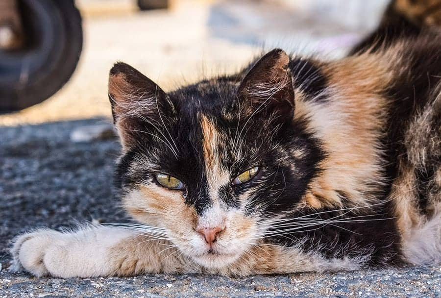 orange and black cat