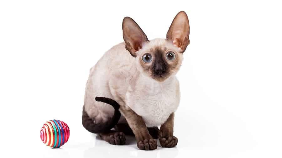 Hypoallergenic cat breeds - Cornish Rex