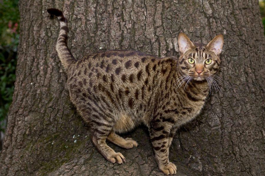 Hypoallergenic cat breeds - Ocicat