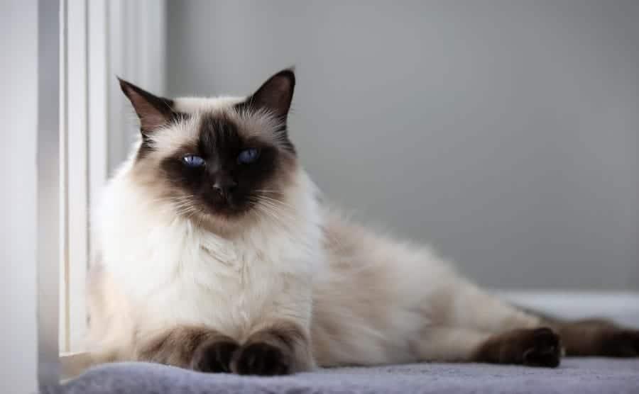 Hypoallergenic cat breeds - Balinese