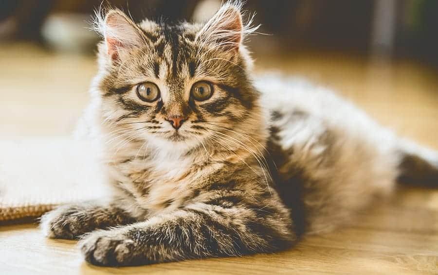 Hypoallergenic cat breeds - Siberian