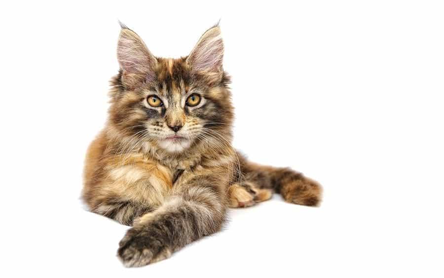Popular cat breeds - Maine Coon