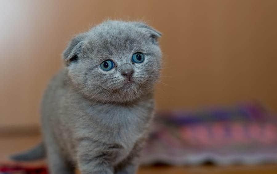 Popular cat breeds - Scottish Fold