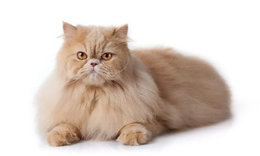 Popular cat breeds - Persian