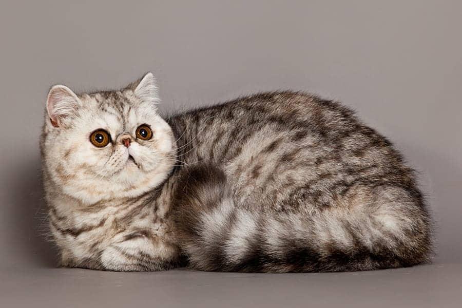 Popular cat breeds - Exotic Shorthair