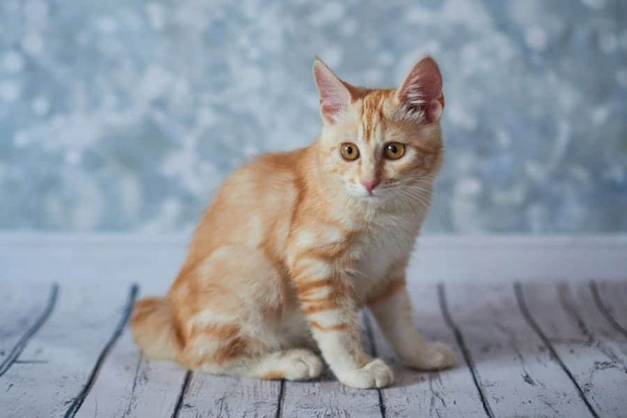 Cutest cat breeds - American Bobtail