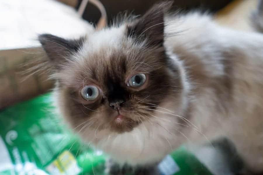 Cutest Cat Breeds - Himalayan