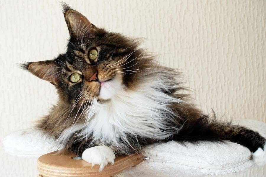 Cutest cat breeds - Maine Coon