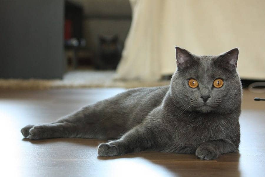 Friendliest cat breeds Chartreux