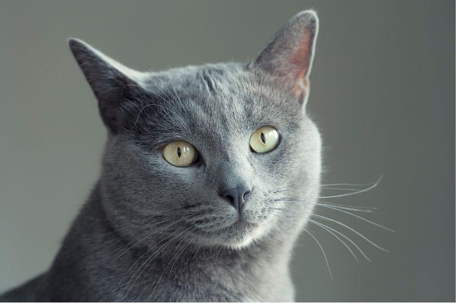 Grey Burmese