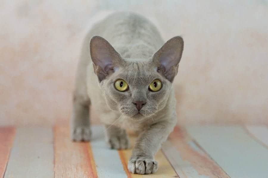 Grey cat breeds - Devon Rex