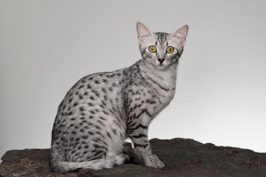 Grey Cat Breeds - Egyptian Mau