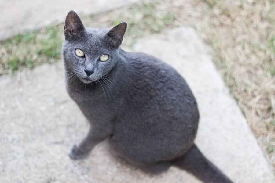 Grey Cat Breeds - Korat