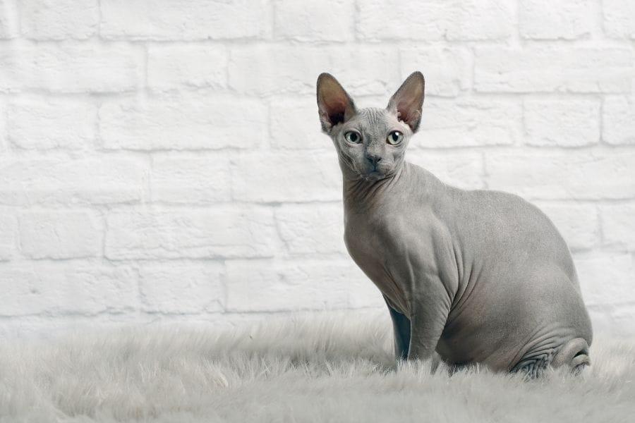 Grey Cat Breeds - Grey Sphynx