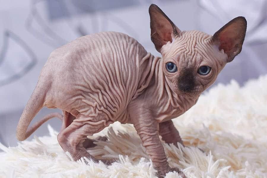 photo of minskin cat