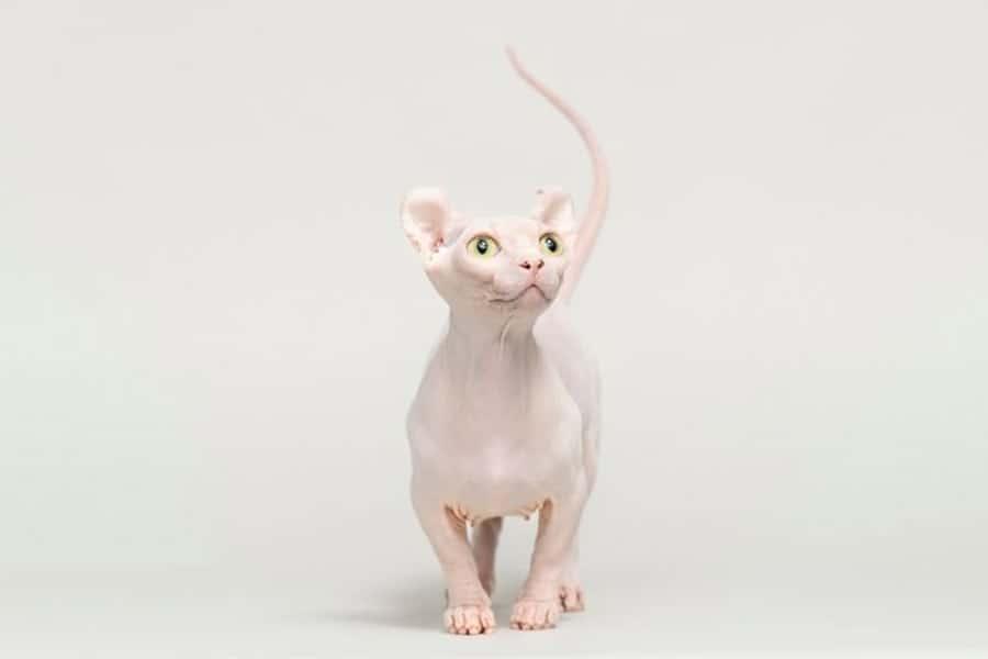 Small cat breeds - Dwelf