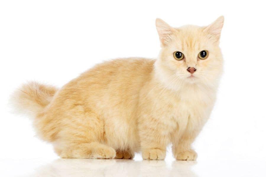 Small cat breeds - Munchkin