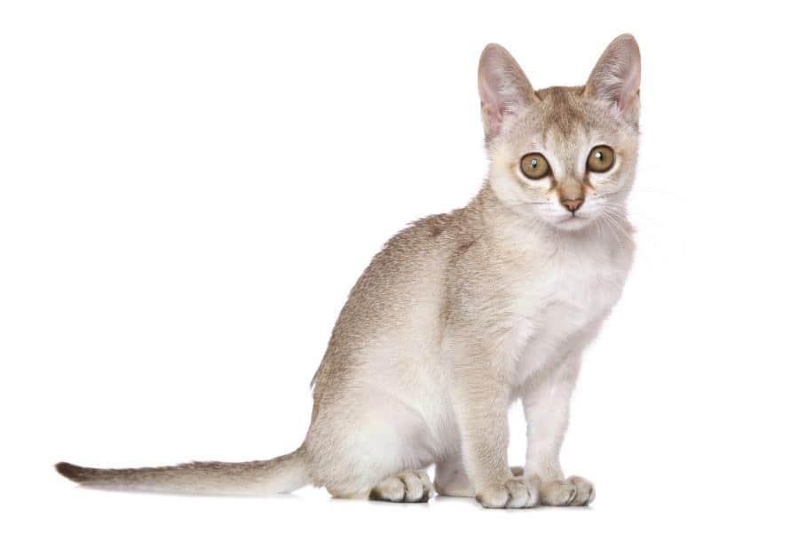 Small cat breeds Singapura