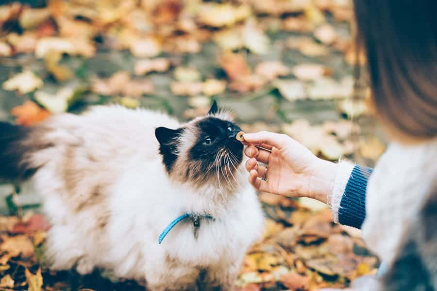 cat in leaves eating treats