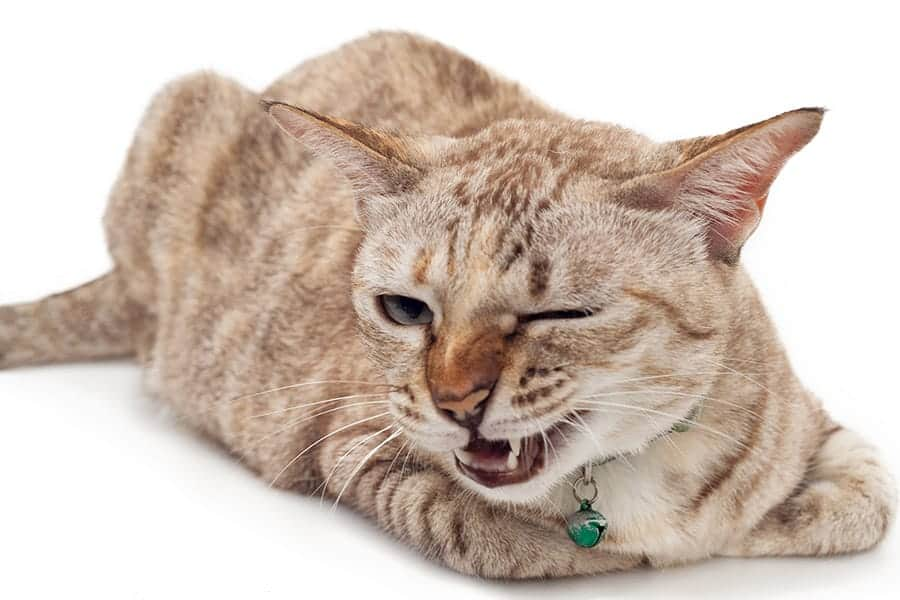 Light brown cat