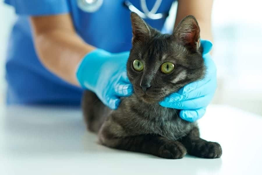cat being checked by vet