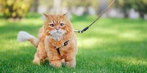 How to leash train a cat