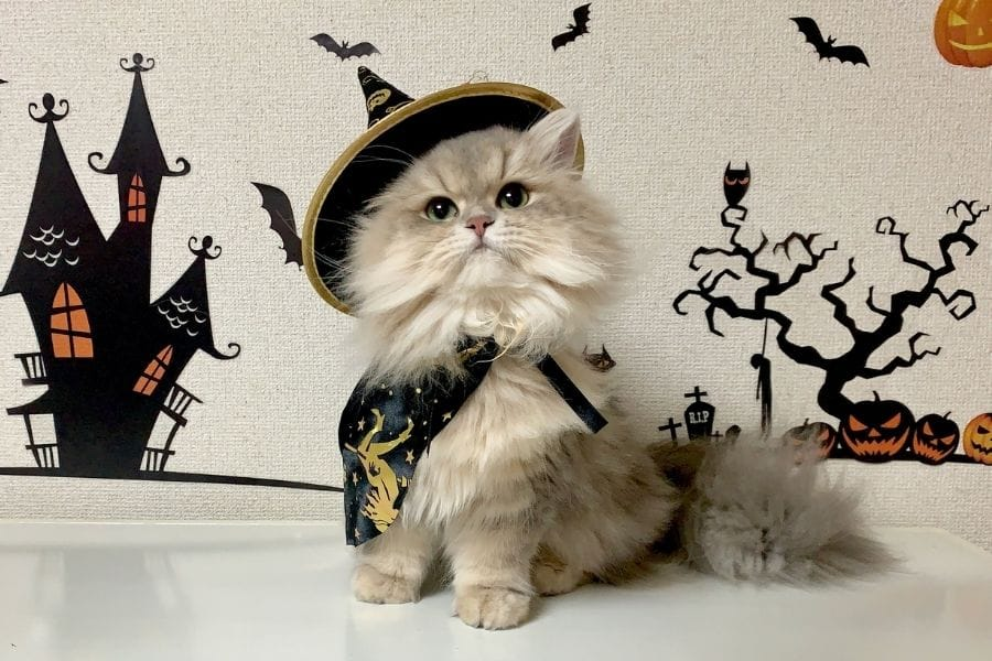 Cat with witch costume